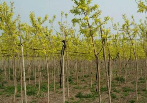 关于金叶复叶槭的苗木价格和种植技术介绍!